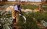 cultivatori de mazare