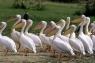 Pelicani in Rezervatia Queen Elizabeth