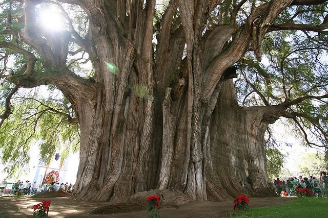 Arborele Tuia