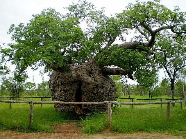 Copacul închisoare