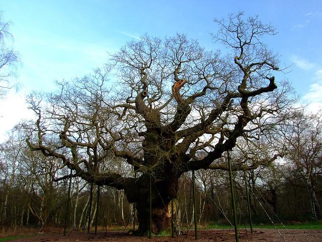 Stejarul Oak