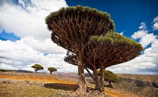 Copacii Dragonului