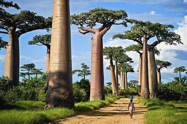 Copacii Baobab